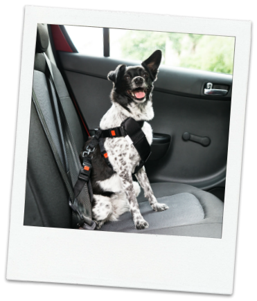 Photo of cute black and white mixed breed dog smiling in back car seat