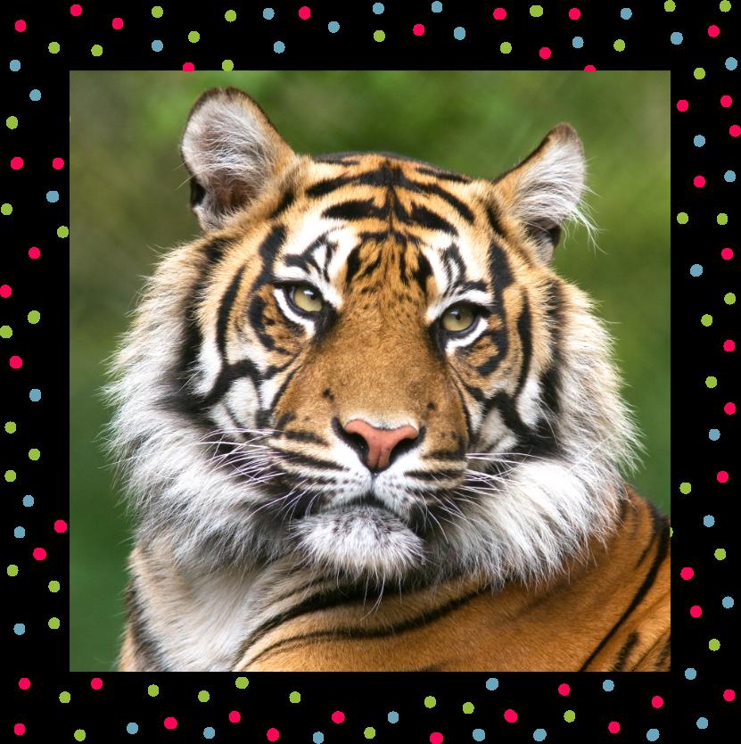Photo of beautiful Bengal tiger