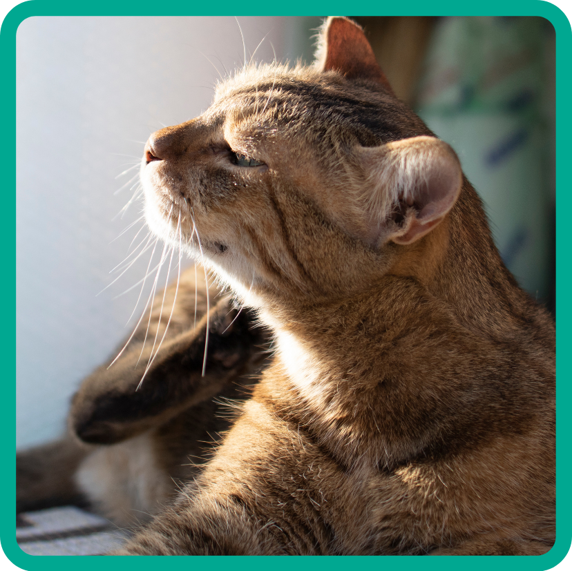 Cute brown tabby cat scratching at self.
