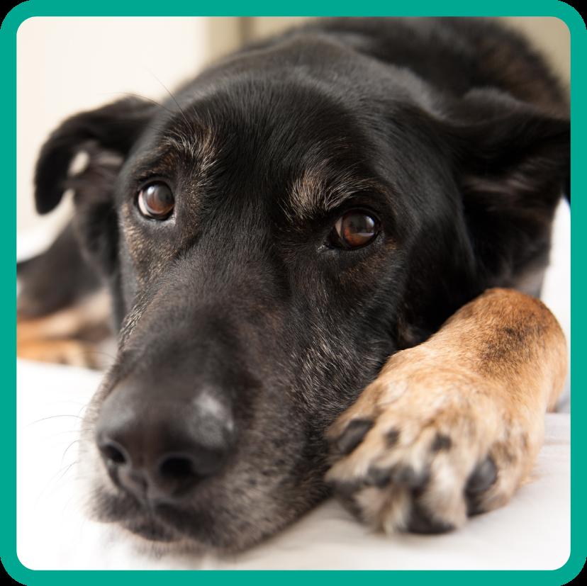 Cute mixed breek black and tan dog lying on floor looking soulfully at camera.